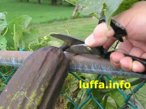 Cutting Luffa from vine